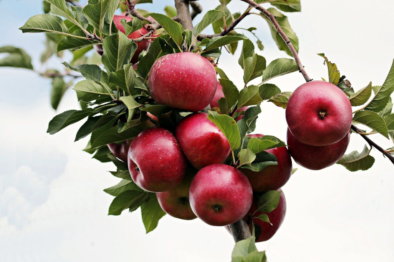 Drzewka owocowe do ogrodu i na balkon