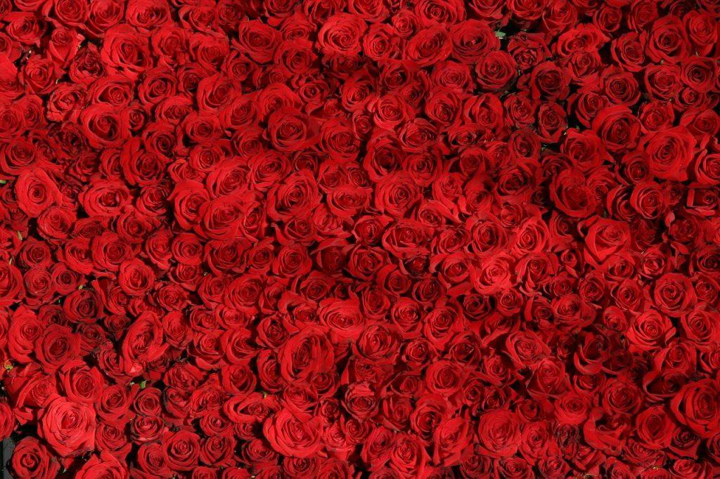 kolory róż czerwone